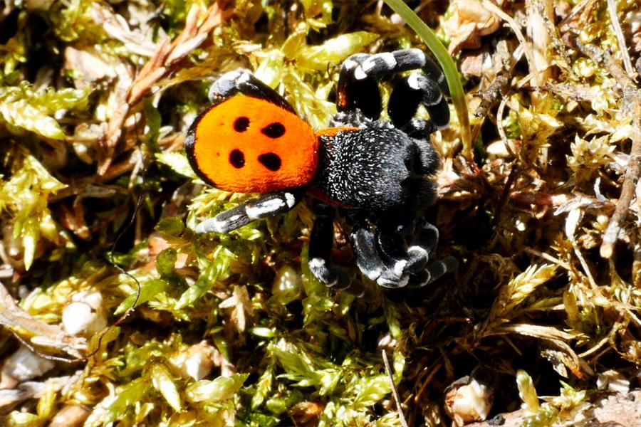 Mariehøneedderkoppen Findes Kun På Hederne