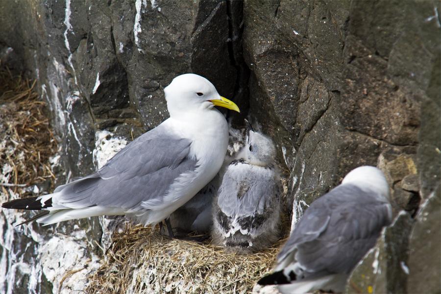 Ride På Fuglefjeldet Med Ny Udklækkede Unger