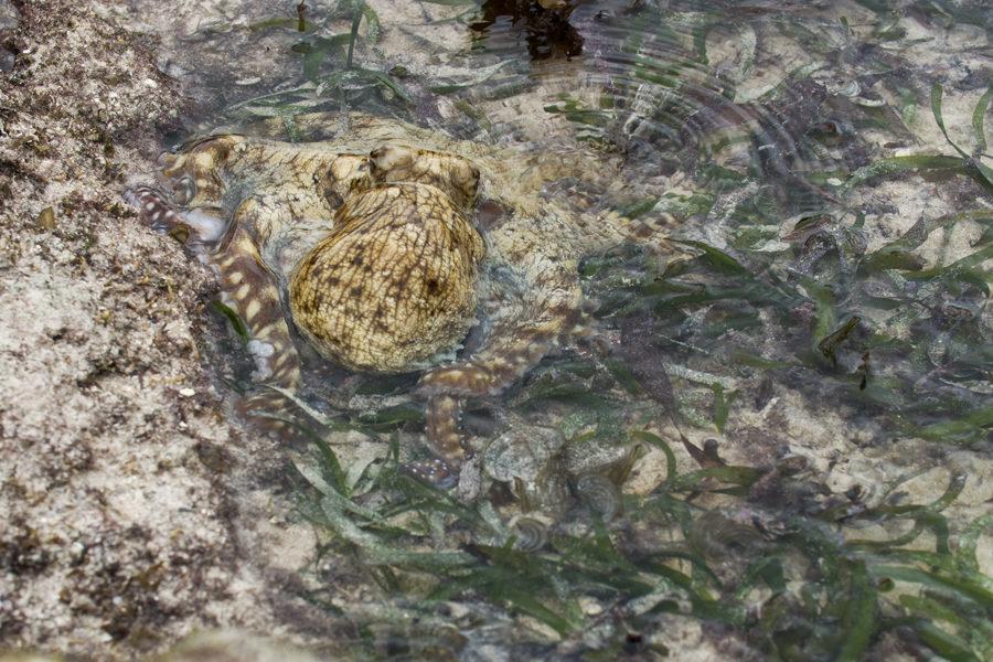 Blæksprutte Fanget I Lille Pool