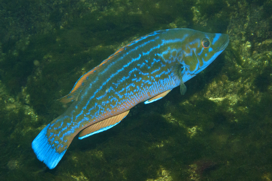 En Af De Farverige Fisk I Danske Farvande Blåstak