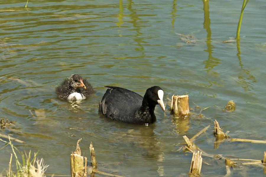 Blishøns Er Vandfugle Der Svømmer Dårligt