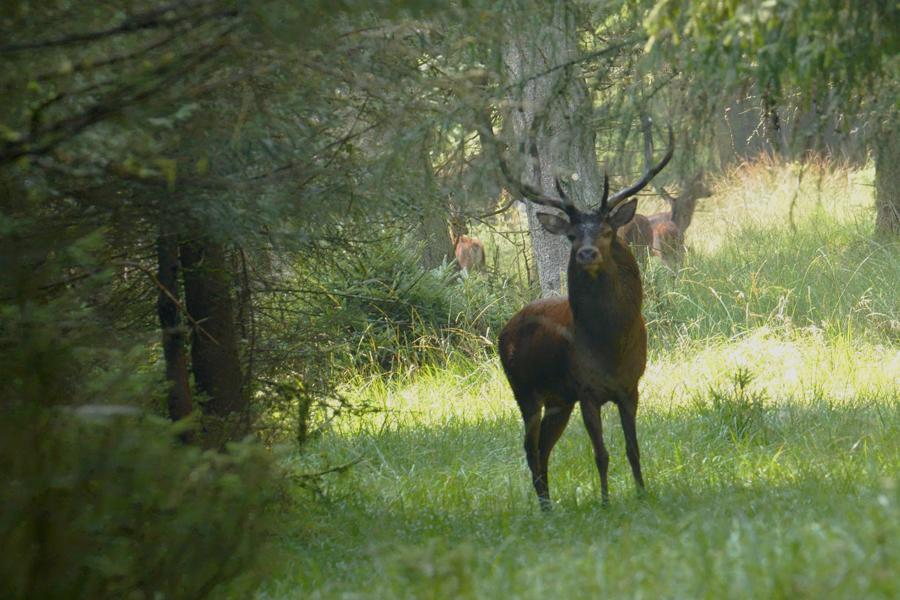 Den Store Hjort Holder Godt øje